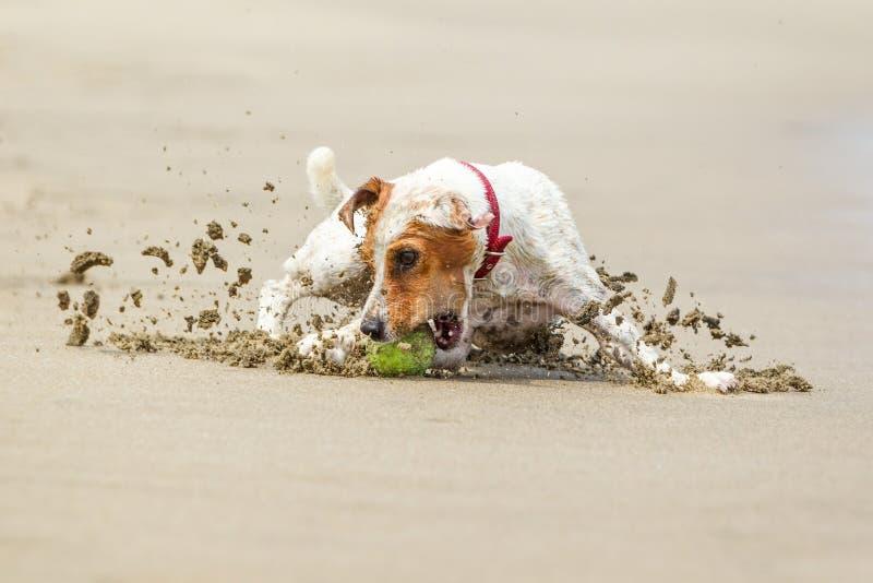 Acción de alta velocidad de Jack Russell Parson Terrier fotografía de archivo libre de regalías