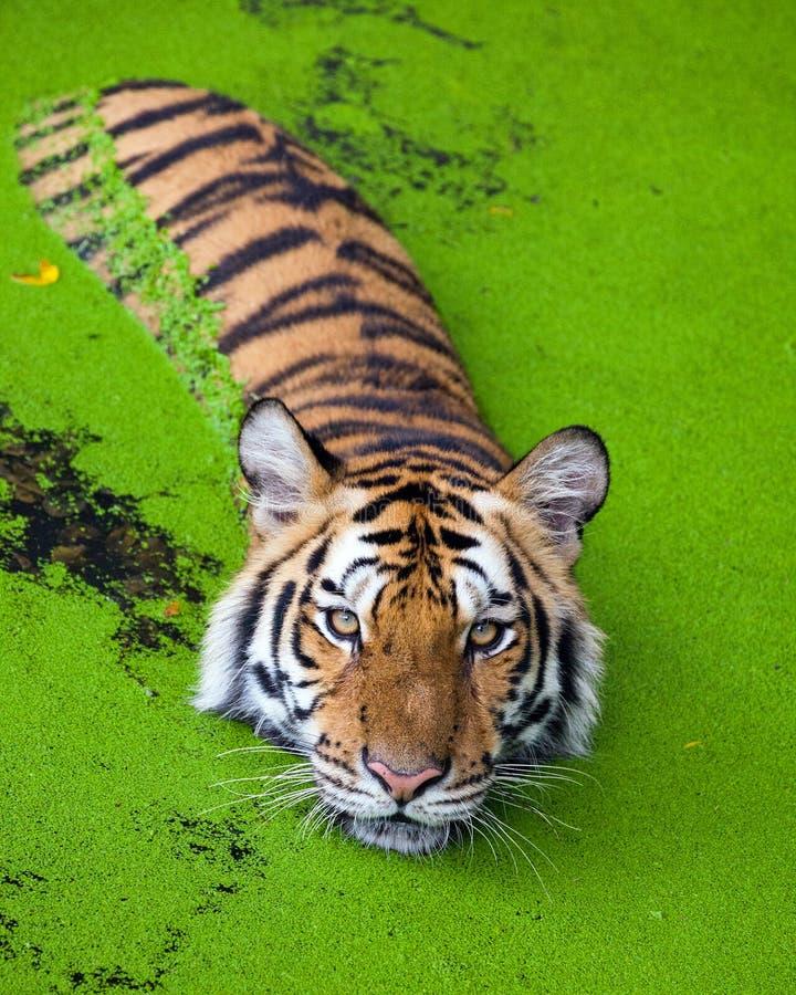 Acción del tigre en el agua imagenes de archivo