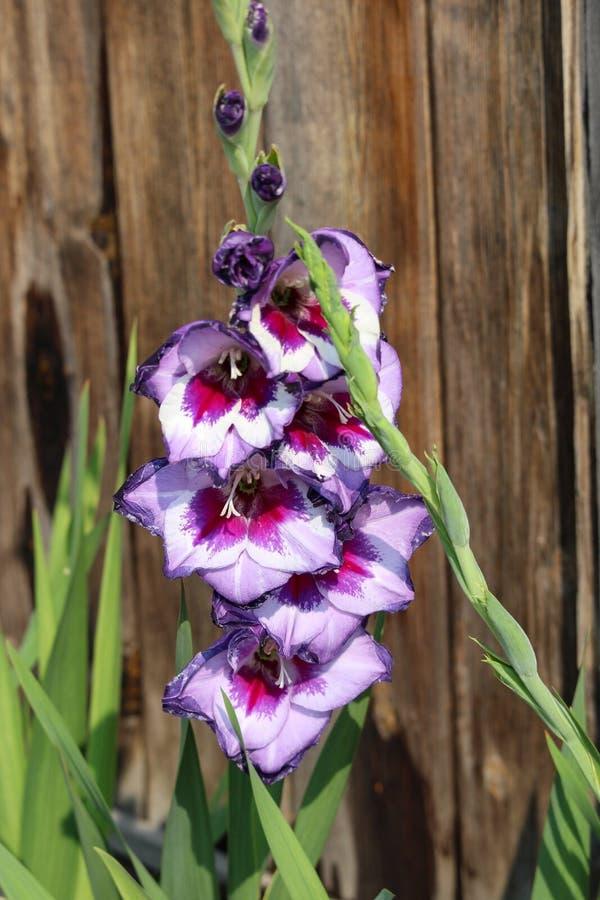 Acción llamativa violeta y blanca de la floración de Gladiola fotografía de archivo