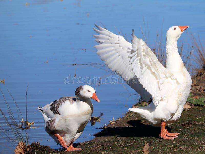 Acci?n del pato asustada Anadones nacionales con los padres asustados imágenes de archivo libres de regalías