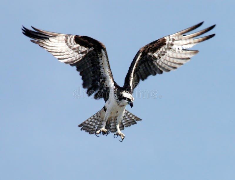 Accipitriformes, Bird, Bird Of Prey, Fauna Free Public Domain Cc0 Image
