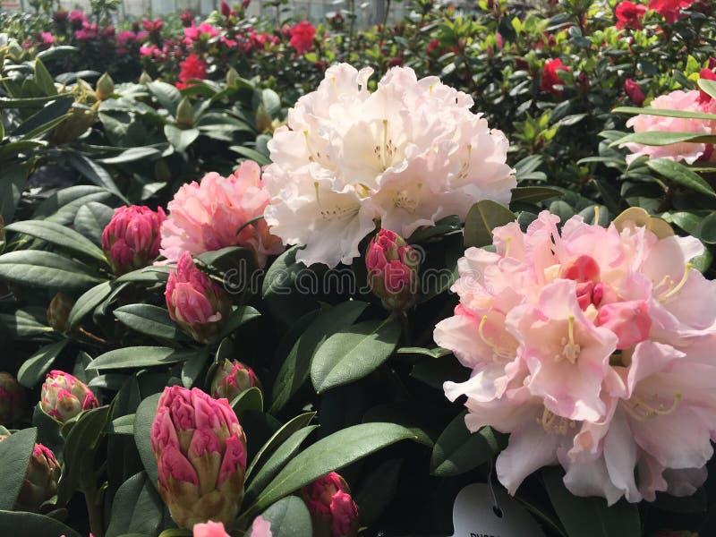 Acclamation de Noël de rhododendron photographie stock libre de droits