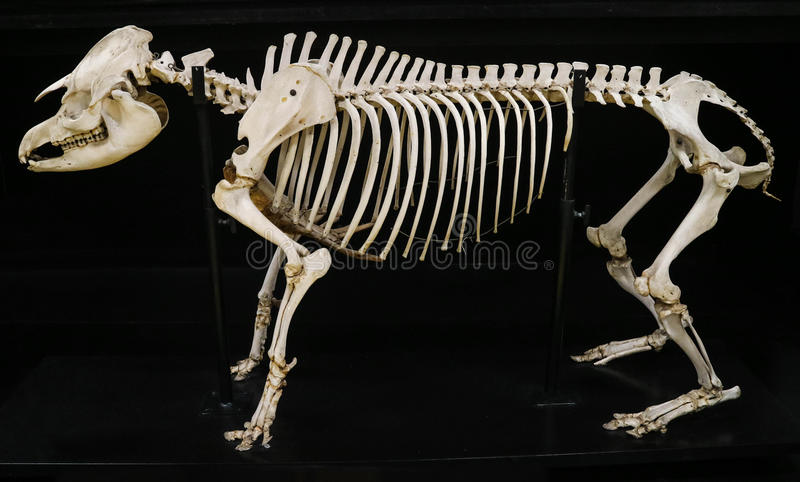 Accomplissez le squelette de tapir d'isolement avec le fond noir images stock