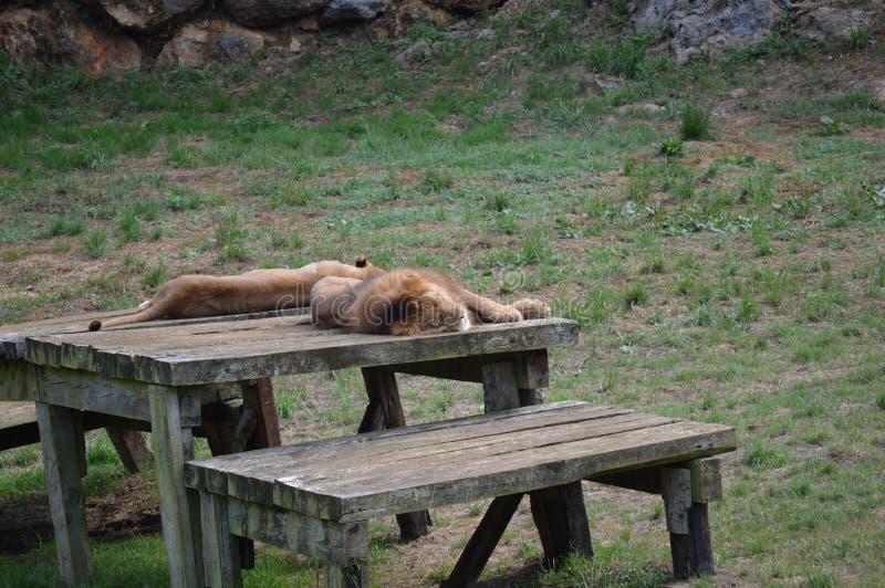 Accoppi dei leoni che riposano miniera dell'estrazione del ferro del parco naturale di Cabarceno nella vecchia 25 agosto 2013 Cab immagine stock libera da diritti