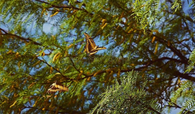 Accoppi del volo delle farfalle fotografie stock libere da diritti