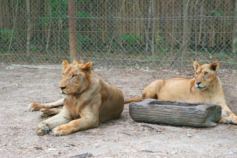 Accoppi delle femmine dei leoni che mettono sulla terra davanti al recinto Zoo all'aperto naturale in Tailandia Museruola graffia fotografie stock