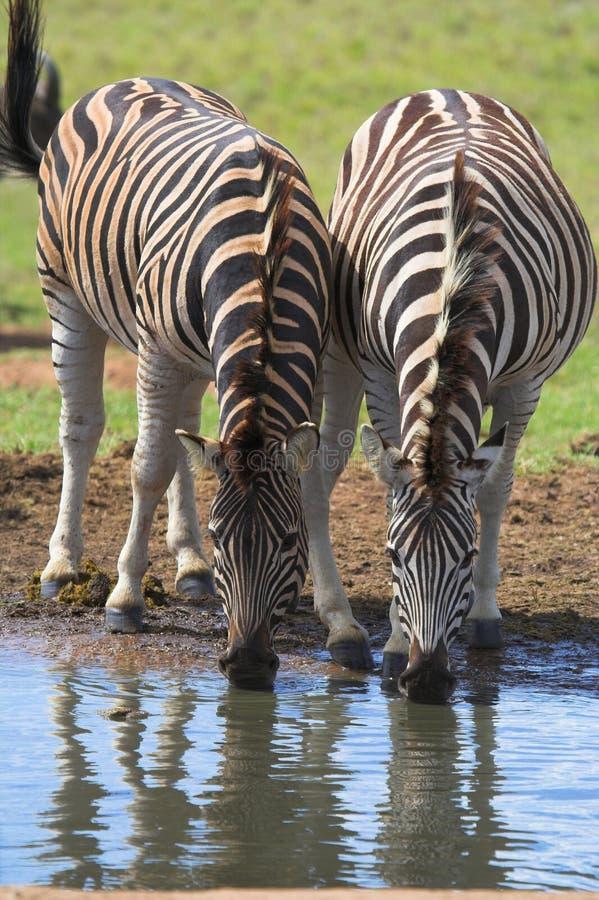 Accoppiamenti beventi della zebra immagini stock libere da diritti