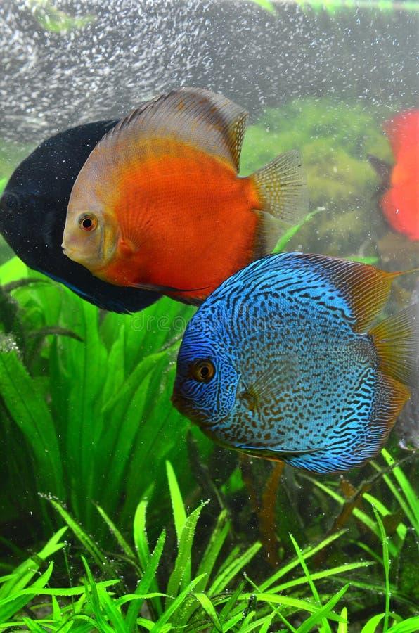 Accoppiamenti del discus pesci tropicali dell 39 acquario for Pesci tropicali acquario
