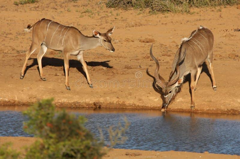 Accoppiamenti dell'antilope di Kudu fotografie stock