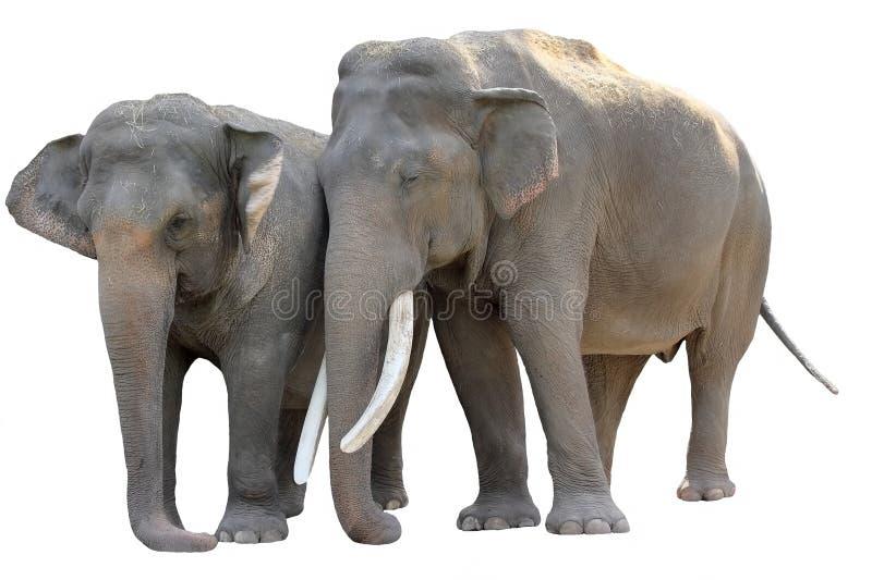 Accoppiamenti dell 39 elefante asiatico isolati immagine - Elefante foglio di colore dell elefante ...