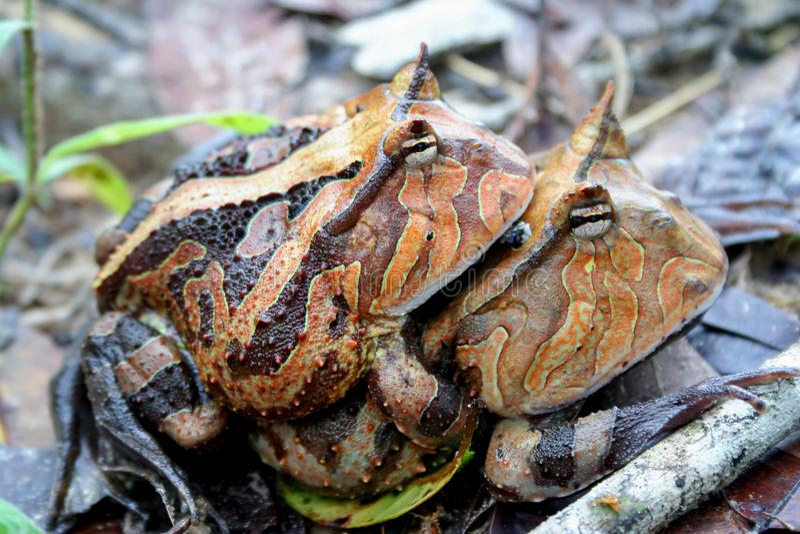 Accoppiamento cornuto delle rane del Surinam fotografia stock libera da diritti