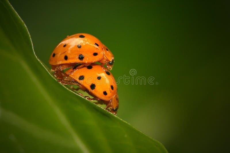 Accoppiamento dei Ladybugs immagini stock