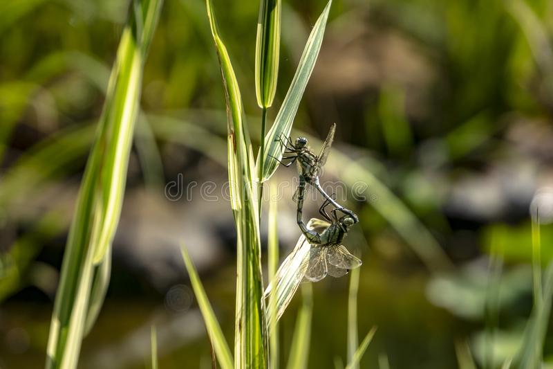 Accoppiamento delle due libellule Due libellule nell'amore a vicenda in un ambiente naturale vicino allo stagno Giorno pieno di s immagini stock libere da diritti