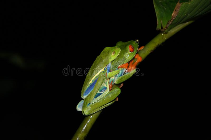 Accoppiamento osservato rosso della rana di albero - Costa Rica America fotografia stock