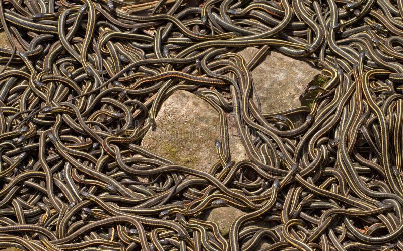 Accoppiamento parteggiato rosso dei serpenti di giarrettiera fotografie stock libere da diritti