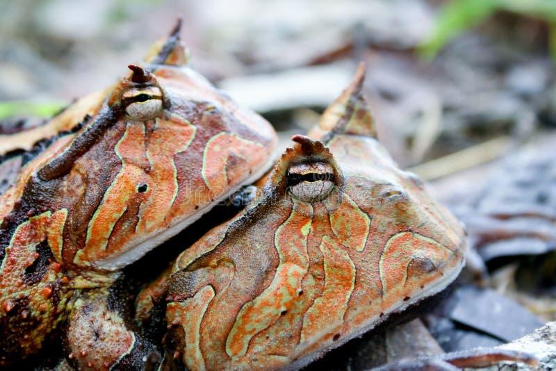 Accouplement à cornes de grenouilles du Surinam images libres de droits