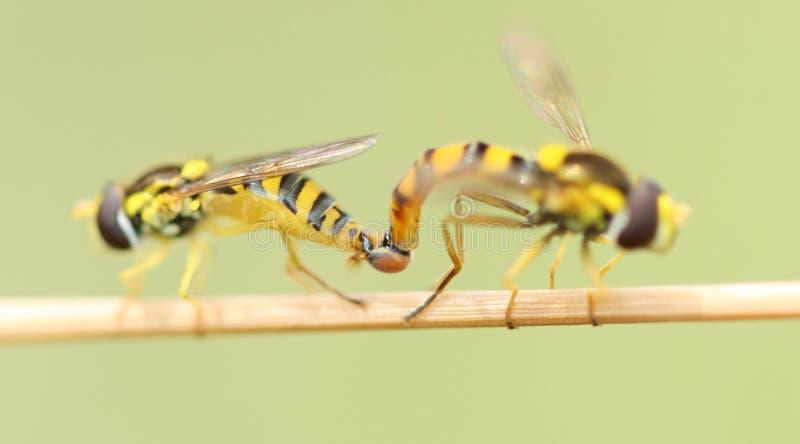 accouplement d'insectes photographie stock