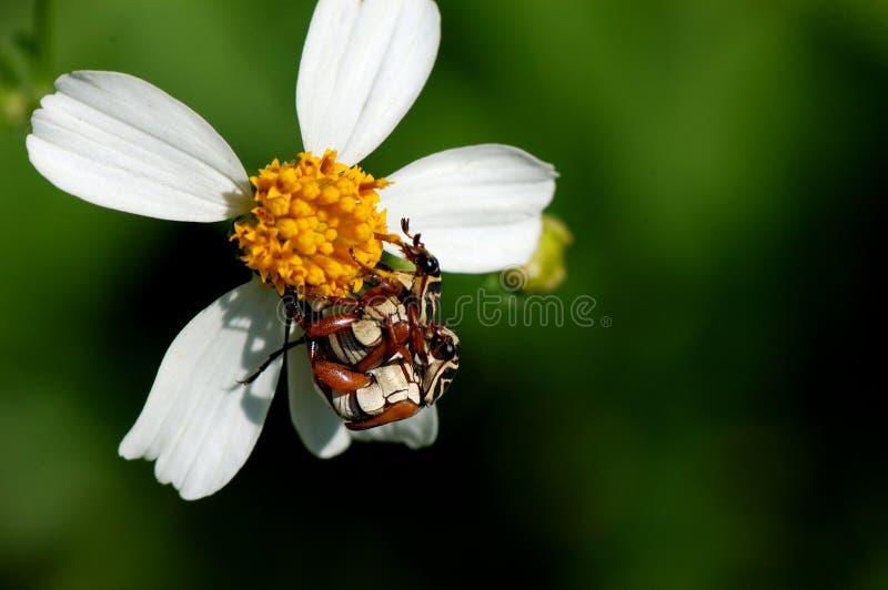 Accouplement de deux insectes image libre de droits