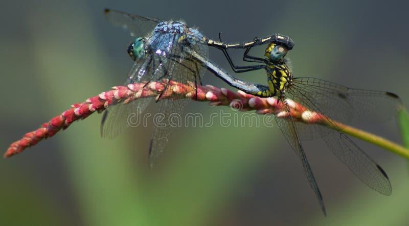 Accouplement de 2 Dragonflys photo stock