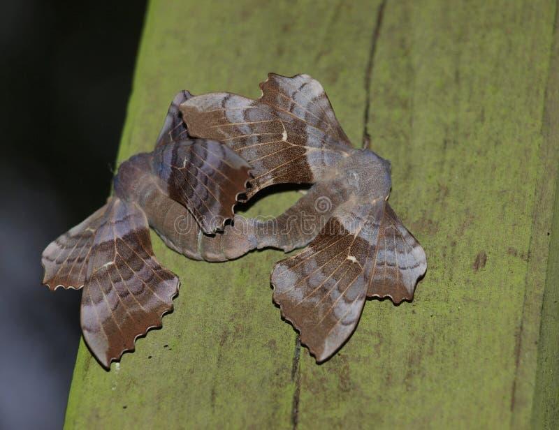 Accouplement de faucon-mites de peuplier photographie stock