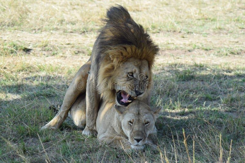 Accouplement de lions photo libre de droits