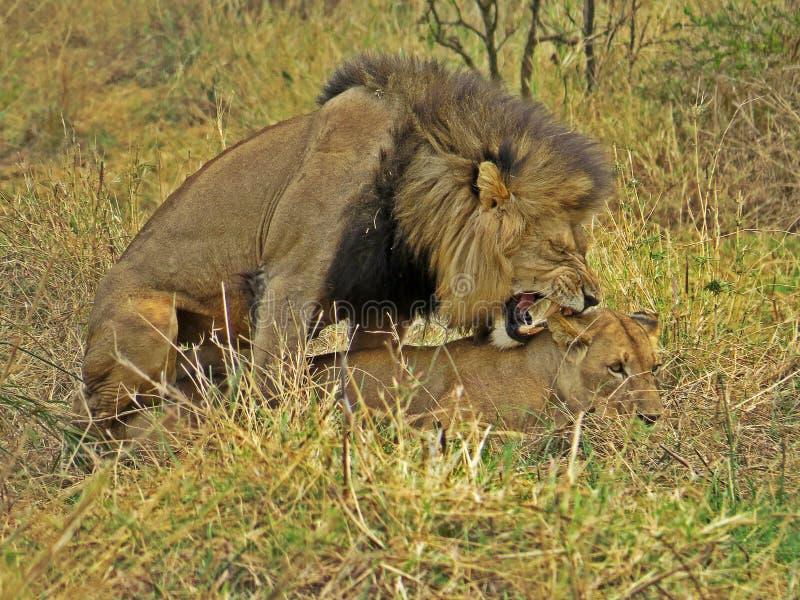 Accouplement de lions image libre de droits