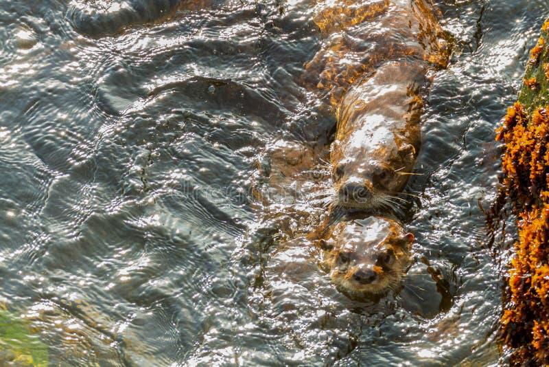 Accouplement de loutres de mer images libres de droits
