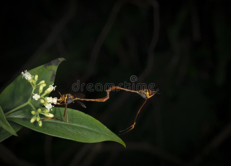 Accouplement de mouches de voleur vu aux collines de Garo, Meghalaya, Inde images libres de droits