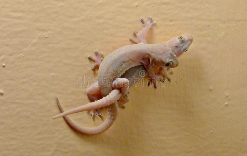 Accouplement rose de geckos images stock