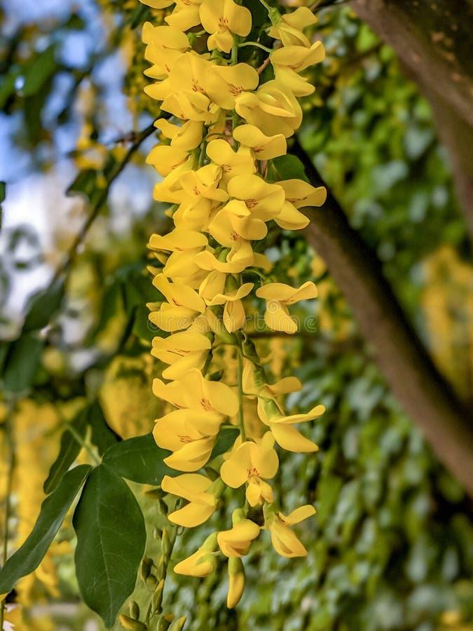 Accrocher de fleurs d'arbre de douche d'or images libres de droits