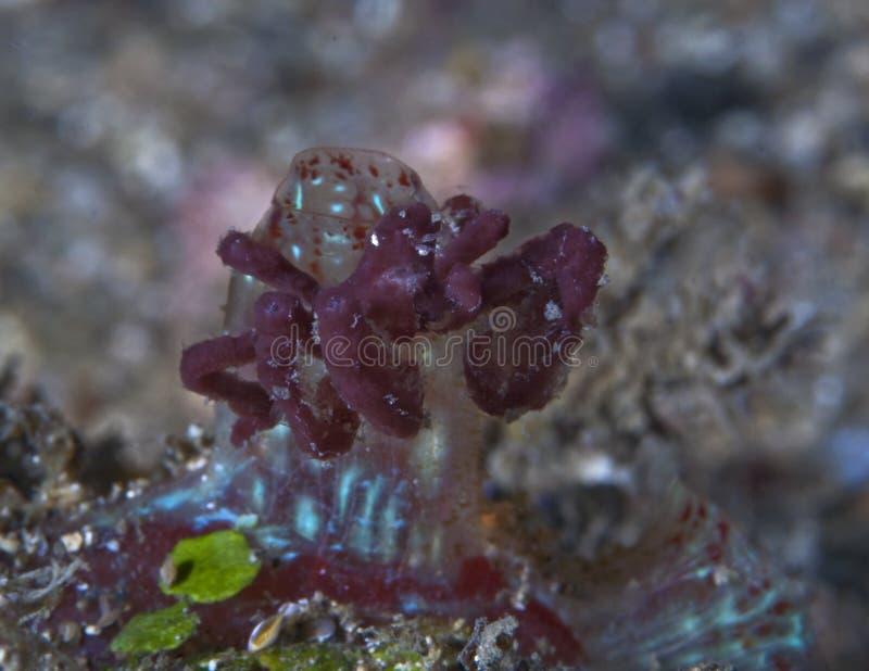 Accrocher japonicus d'Achaeus de crabe d'orang-outan dessus à un morceau de corail photos libres de droits