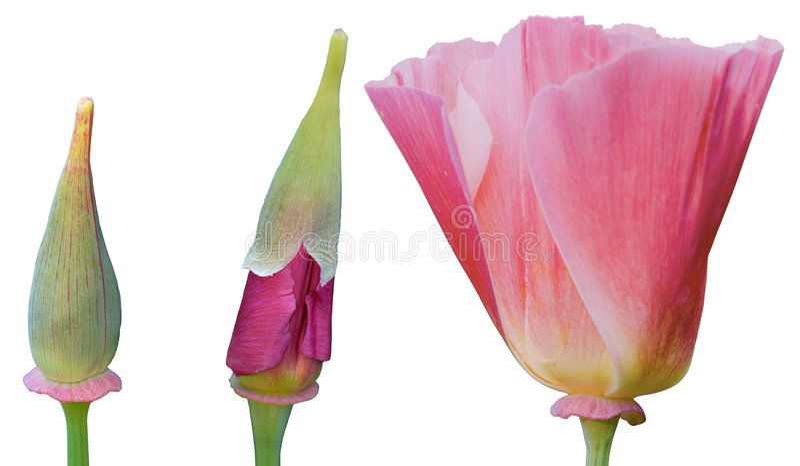 Accroissement d'une fleur image stock