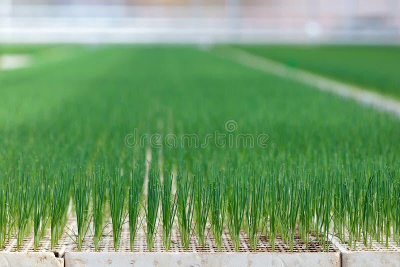 Accroissement de jeunes légumes de poireau photographie stock libre de droits