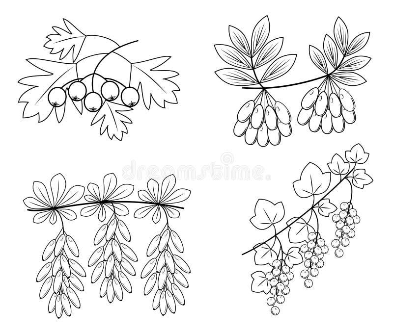 accumulazione Ciò è un ramo del crespino, cratego, corniolo, uva passa Bacche saporite utili per salute e medicina Immagine grafi illustrazione vettoriale