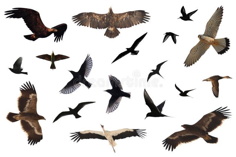 Accumulazione dell'uccello fotografie stock libere da diritti