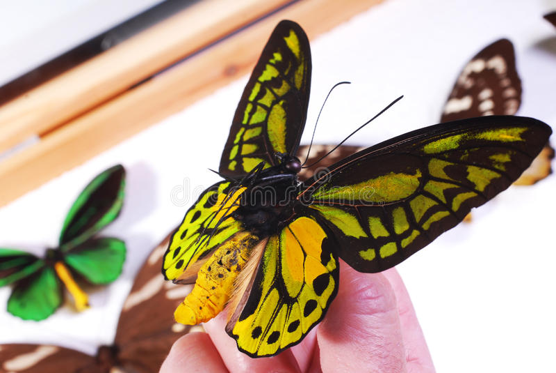 Accumulazione della farfalla immagine stock