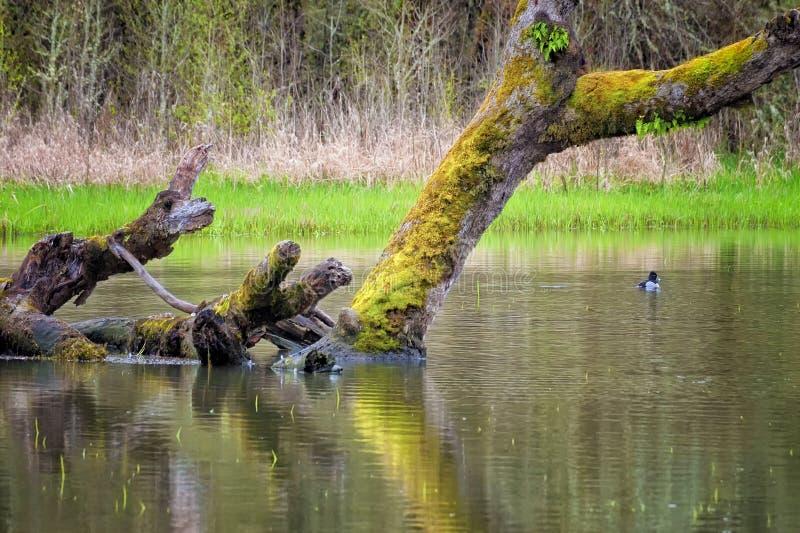 Accumulez avec vers le bas l'arbre et le canard couverts par mousse image libre de droits