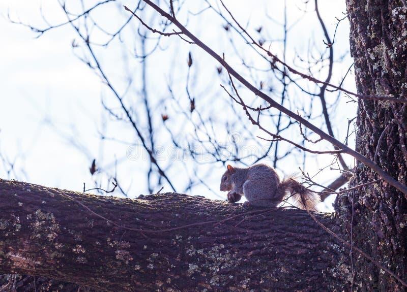 Accumulez l'essai d'ouvrir un écrou sur une branche dans Hopewell, Pennsylvanie photo libre de droits