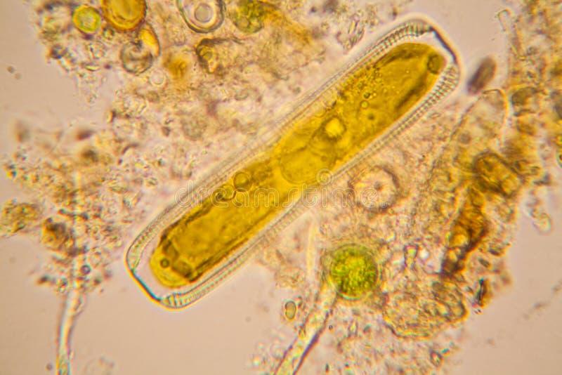 Accumulez le plancton et les algues de l'eau au microscope diatomées image stock