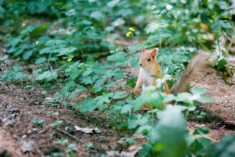Accumulez le Sciurus thématique animal de fourrure d'animaux familiers d'automne de forêt de nature sauvage drôle rouge de fond v image stock