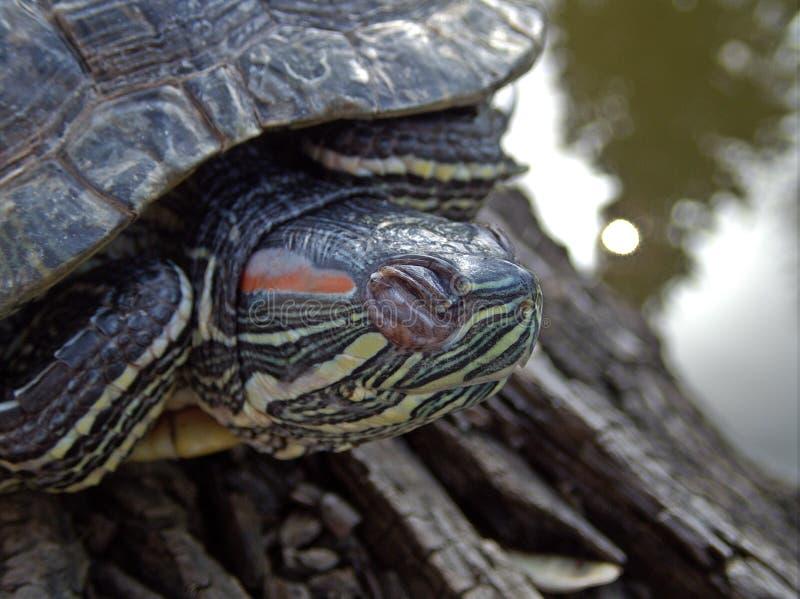 Accumuli la tartaruga che riposa su un ceppo vicino alla scena di tranquillità dell'acqua fotografia stock libera da diritti