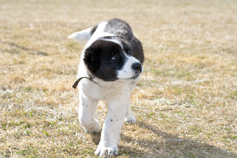 Accused puppy royalty free stock photography
