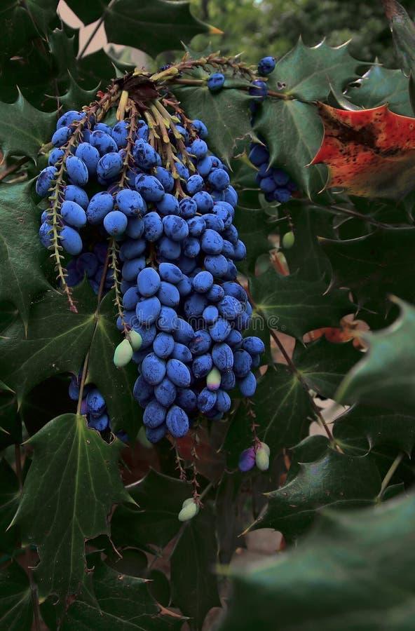 Acebo de la uva de Oregon imagenes de archivo