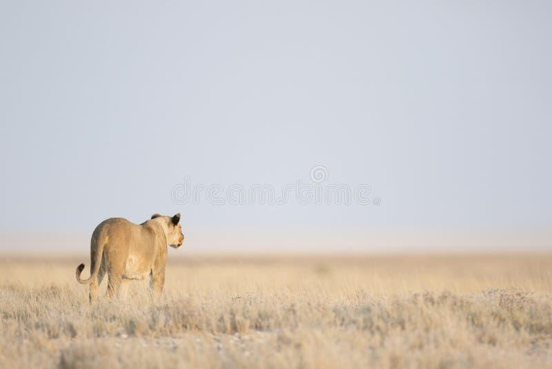 Acecho de la leona imagen de archivo libre de regalías