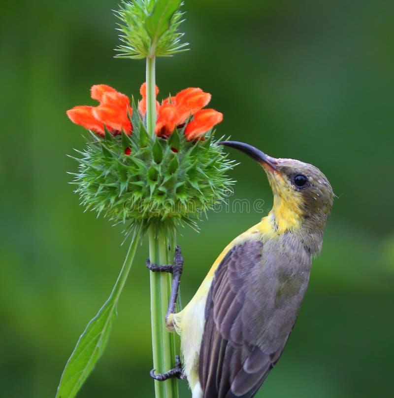 Aceituna - sunbird apoyado fotos de archivo libres de regalías