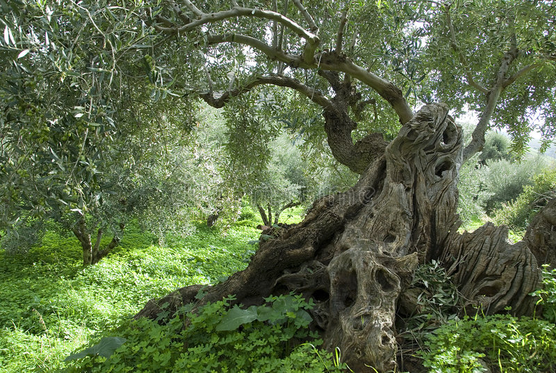 Aceituna Tree_1 foto de archivo