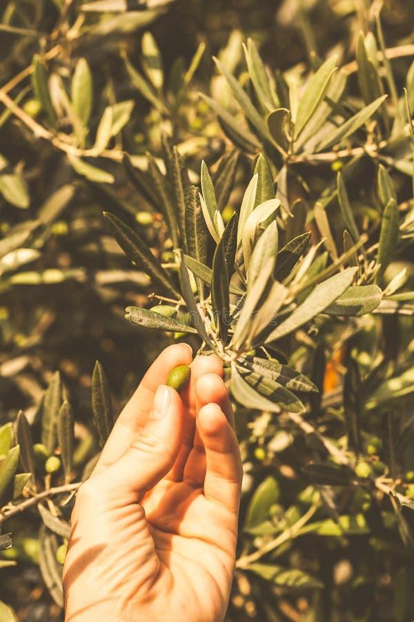 Aceitunas de la baya en mano femenina Concepto de las plantas de Montenegro imágenes de archivo libres de regalías
