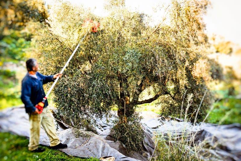 Aceitunas de la cosecha en Kalamata, Grecia foto de archivo libre de regalías