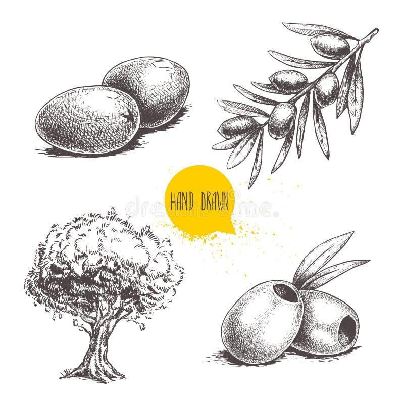 Aceitunas dibujadas mano del bosquejo fijadas Olivo, frutas verdes olivas, aceitunas sin hueso y rama de olivo con las hojas Ilus stock de ilustración