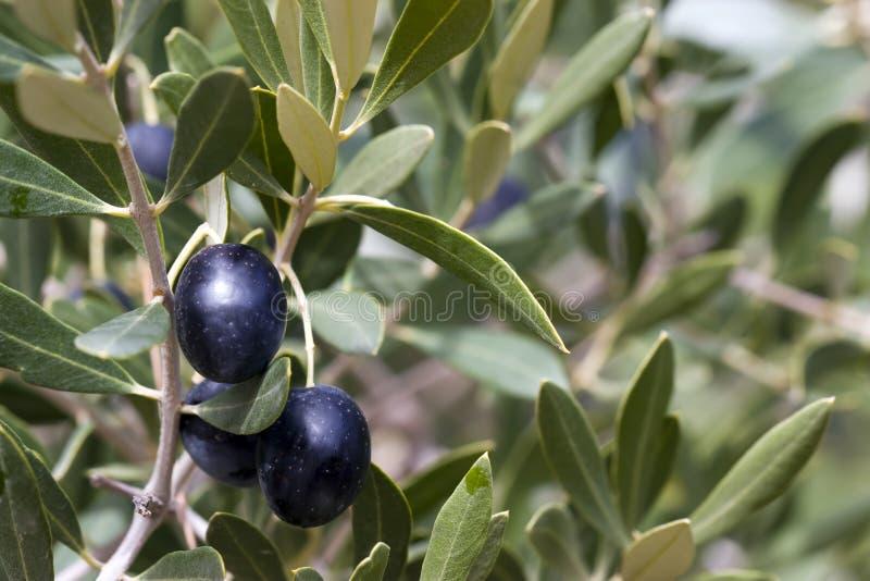Aceitunas en árbol - negro fotos de archivo
